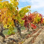 13770058-vineyard-at-autumn-la-rioja-spain